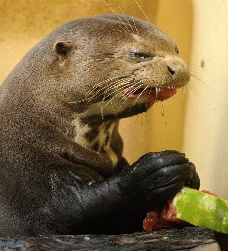 Angry Otter Despises Watermelon