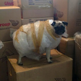 This is How I Mail All My Pugs