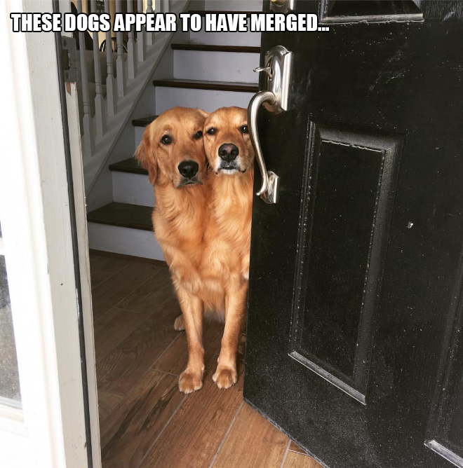 These dogs appear to have merged...