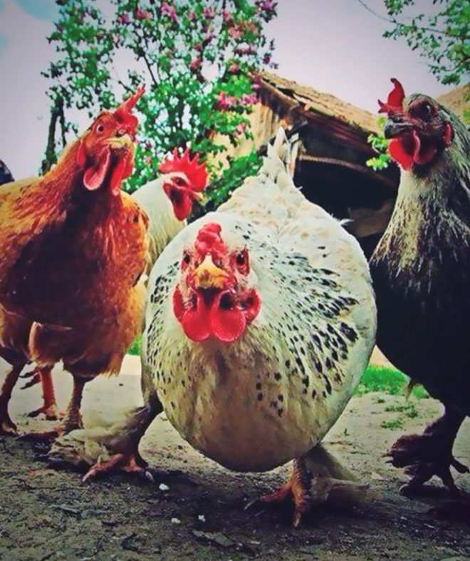 The hottest chicken band right now.