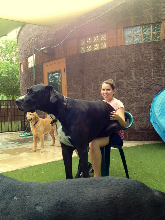 Huge dog that's convinced that he's tiny.
