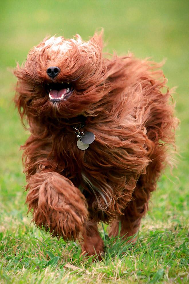 Funny hairy beast running.