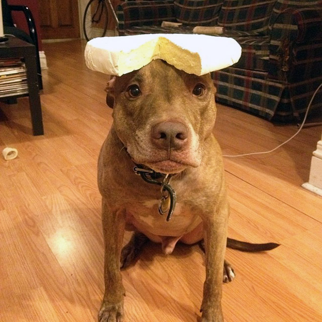 Patient pitbull balancing cheese on the head.