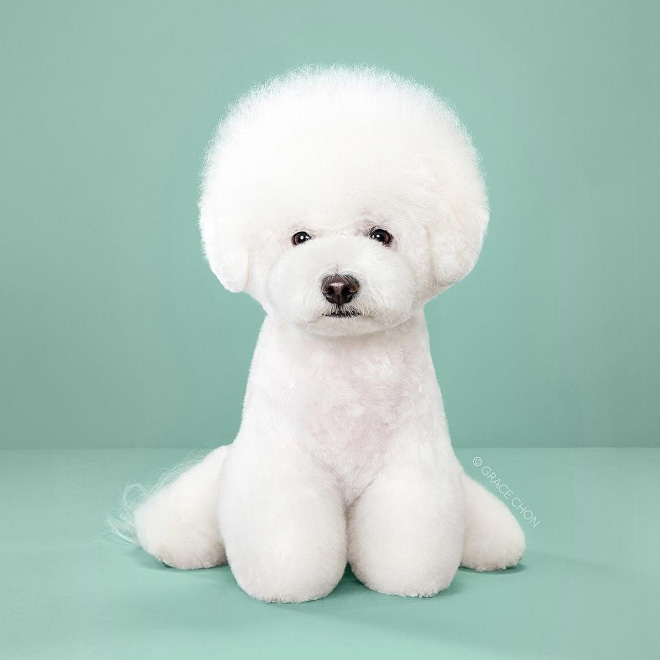 Dog after haircut.