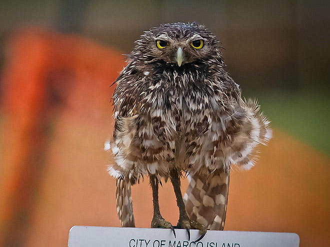 Sad wet owl.