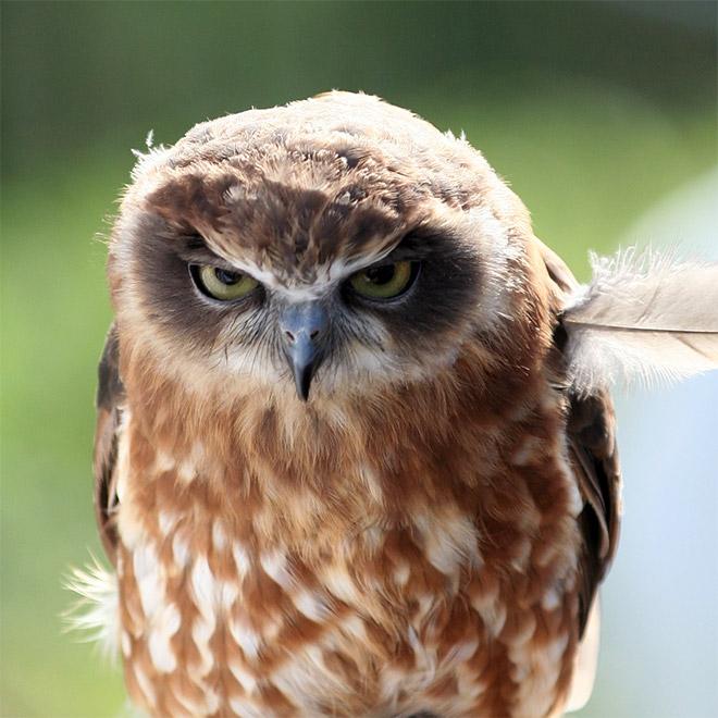 Incredibly angry owl.