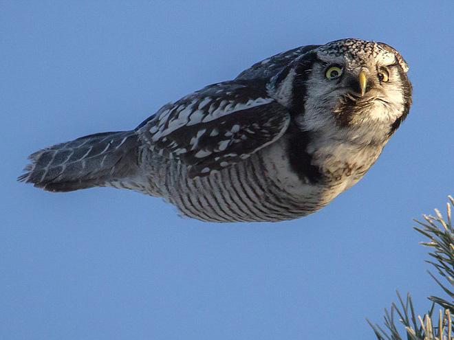 Angry flying owl.