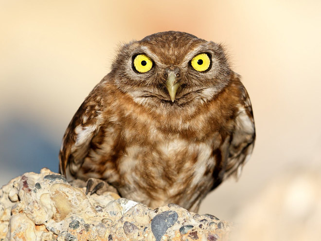 This owl is full of rage.