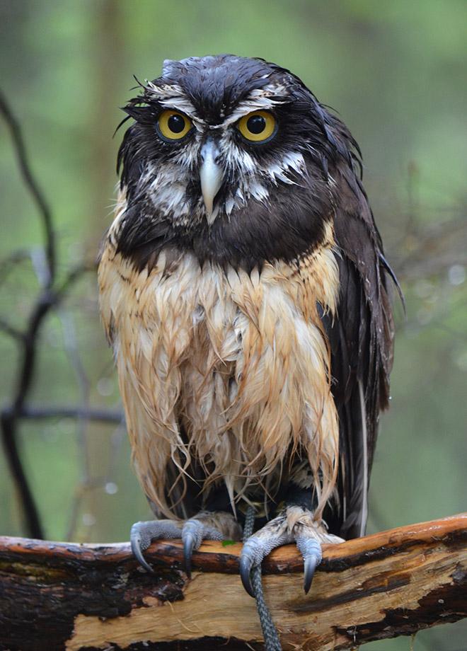Grumpy wet owl.