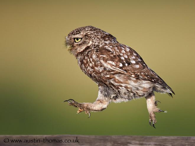 Funny running owl.