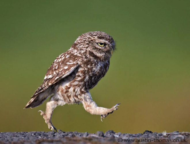 Grumpy walking owl.