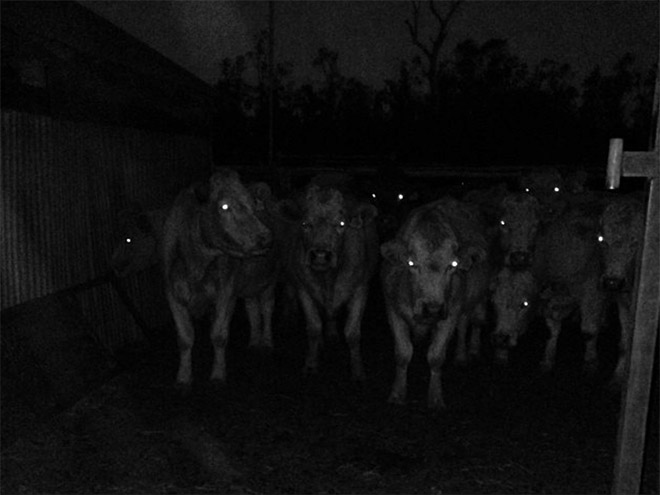 Creepy cows in the dark.