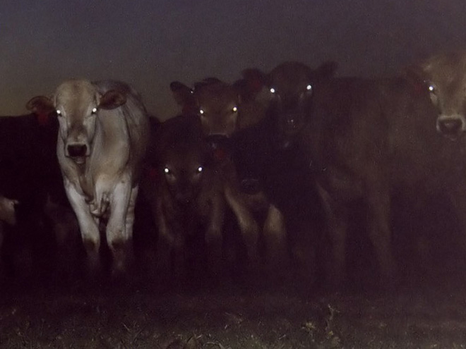 Cows in the dark.
