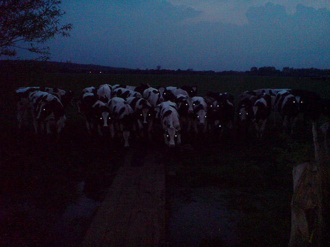 Creepy cows in the darkness.