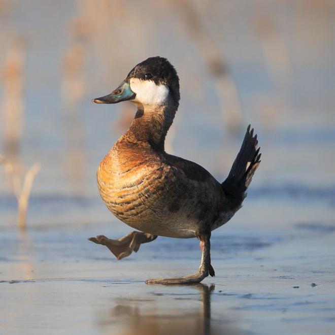 Awkwardly walking duck.