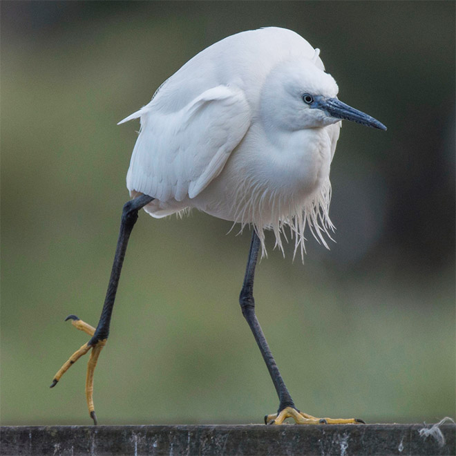 Awkwardly walking bird.