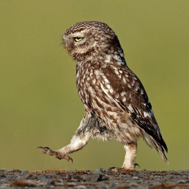 Awkwardly walking owl.