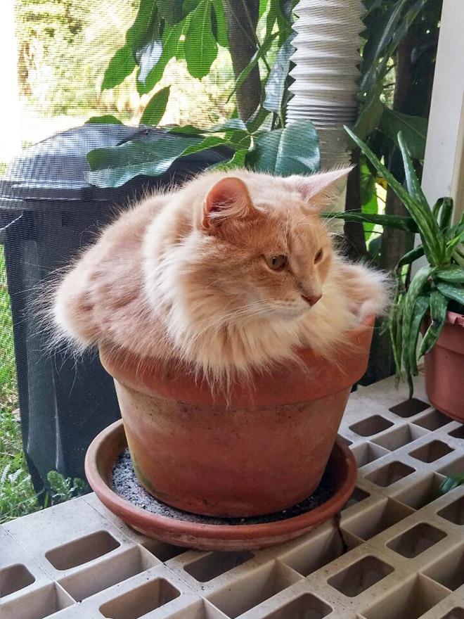Beautiful ginger cat plant.