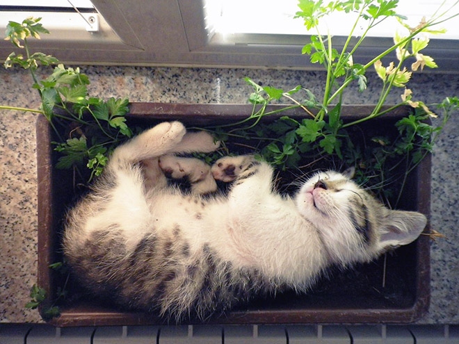 Kitten plant taking a nap.