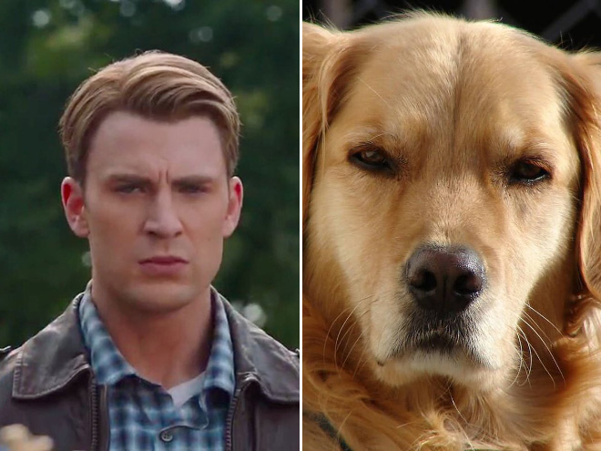 Proof that Chris Evans is actually a golden retriever.