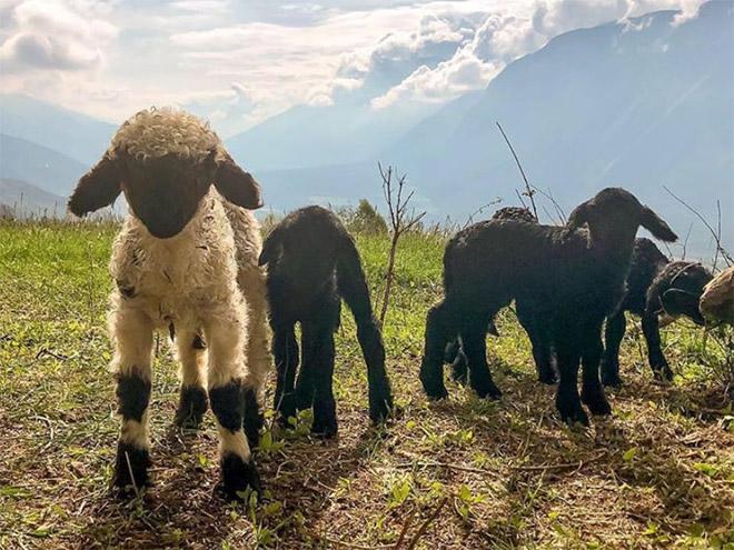 Very metal looking sheep.