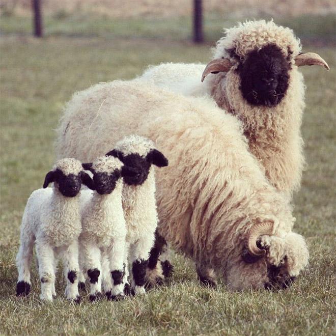 Heavy metal sheep family.