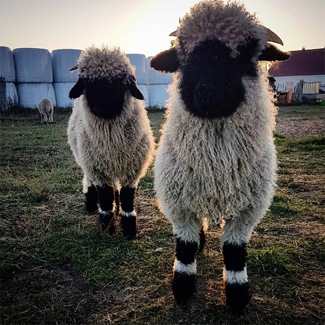 Couple of heavy metal sheep.