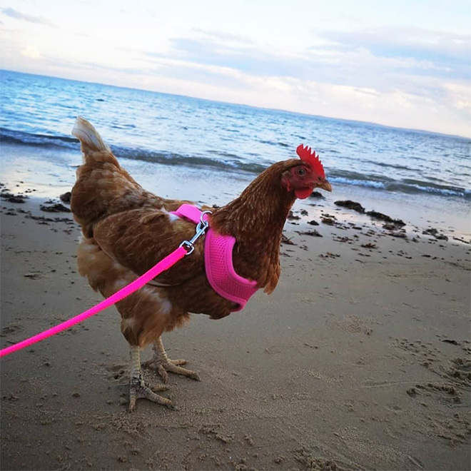 Chicken harness in action.