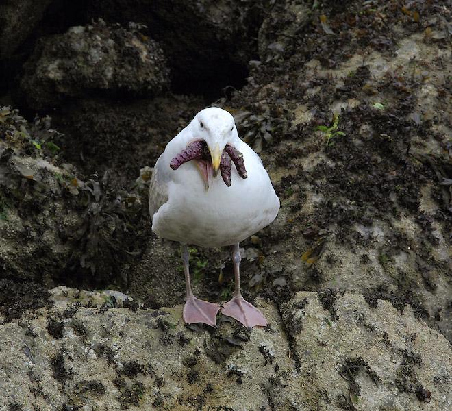 Seagull eating starfish.