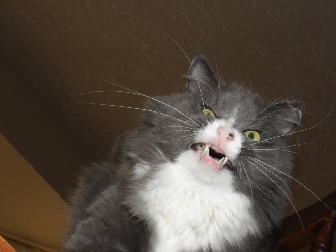 Cat caught mid-sneeze.