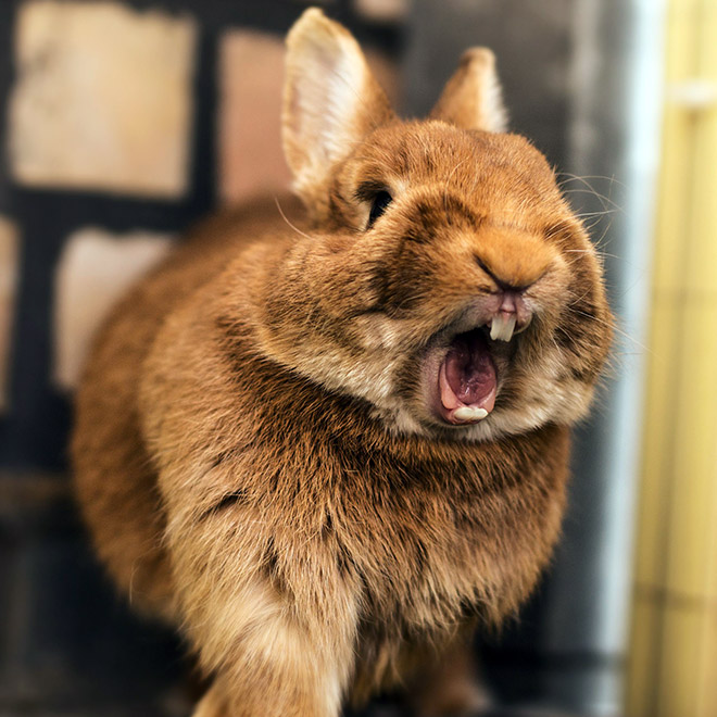 Yawning rabbits look terrifying.
