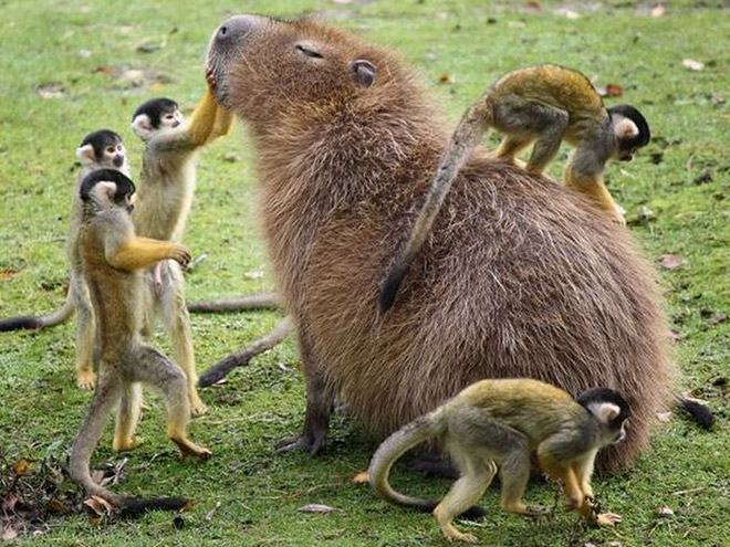 Capybaras are chill with everyone.