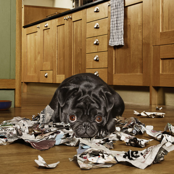 Funny guilty dog with a priceless expression.