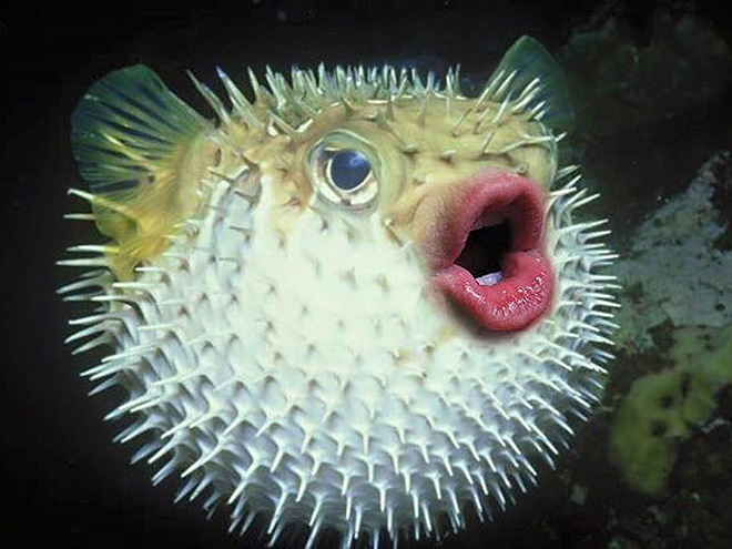 Puffer fish with Trump's mouth.