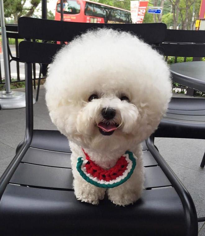 Funny round dog haircut.