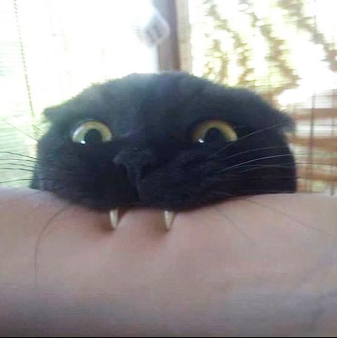Vampire cat.