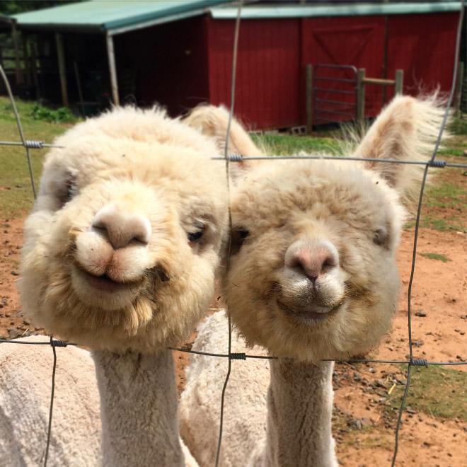 Alpacas are beautiful and majestic creatures.