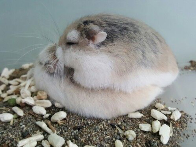 Did you know that hamsters are actually 90% pancakes and 10% cuteness?