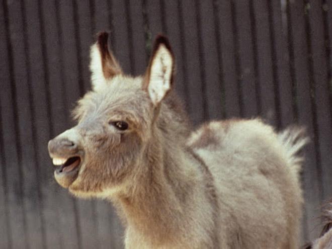 Laughing donkey.