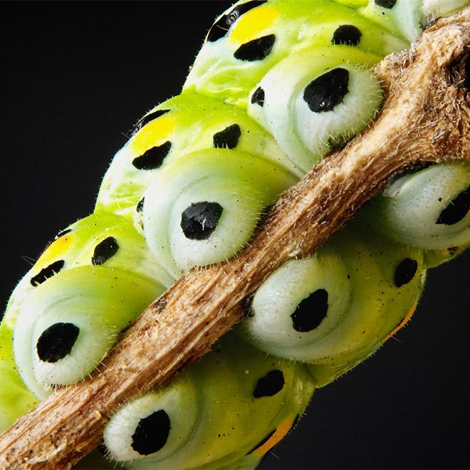 Caterpillar feet.