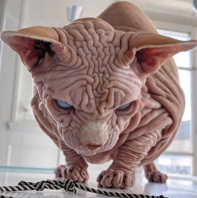 Hairless cats look... strange.