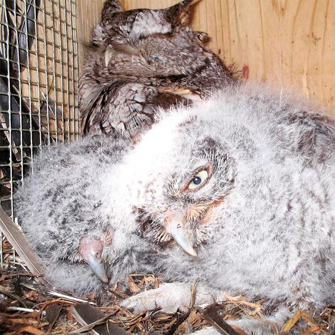 Hungover owl.