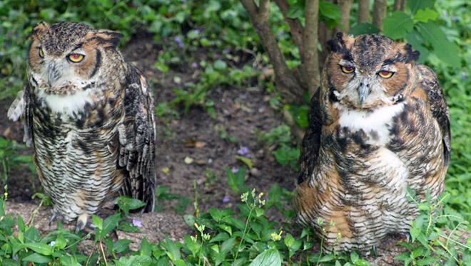 Hungover owls.