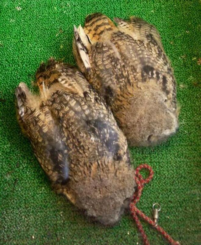 Sleeping owls.