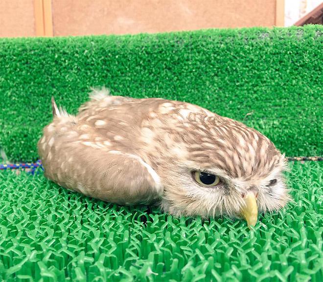 Sleepy baby owl.