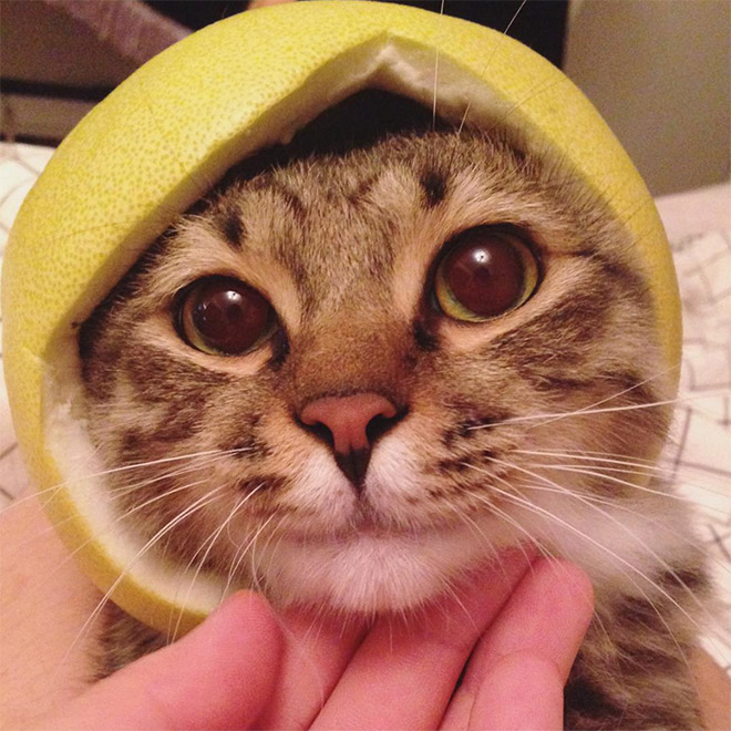 Cat in citrus fruit hat.