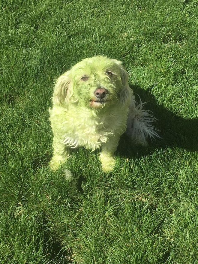 This picture is not photoshopped. Freshly cut grass will really turn your dog into The Hulk.