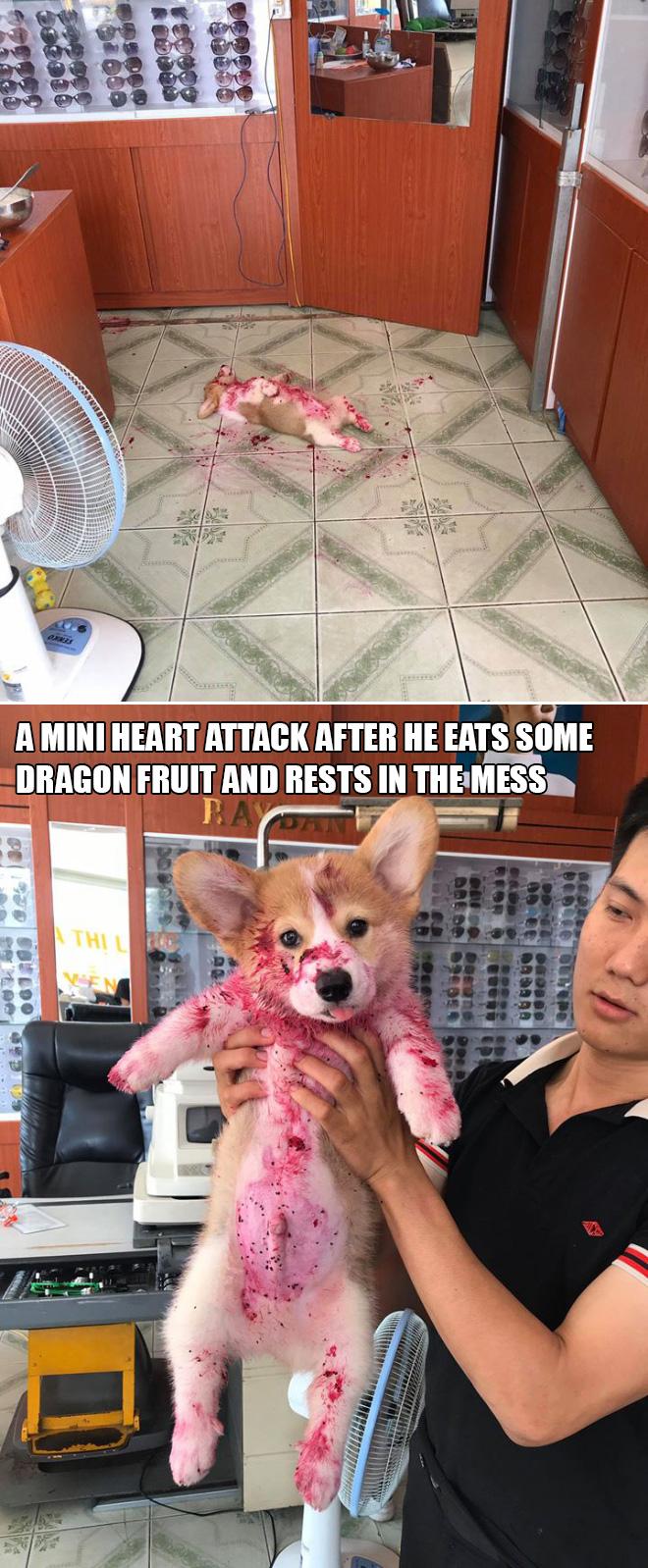 Corgi sleeping in dragon fruit.