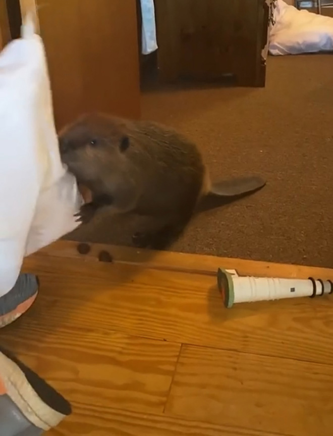Beaver building a dam from household items.