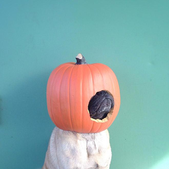 Funny pug portrait.